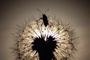 Bug on dandelion